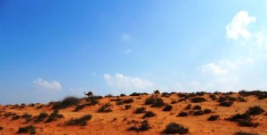 camels in distance